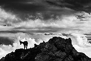 An adult alpine ibex goat (Capra ibex) on a rock , mount Pilatus, Central Switzerland