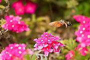 Hummingbird hawk moth (Macroglossum stellatarum) (also Hummingmoth) feeding on a flower. This large moth hovers, creating a humming sound, beside flowers upon which it feeds with an elongated proboscis. These factors give this moth its name. The hummingbird hawk moth is active during the day and resident in warmer climates of the northern hemisphere. Photographed in Israel
