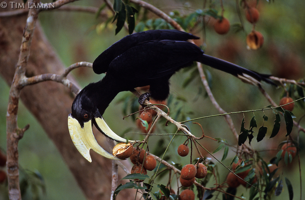 A male Black Hornbill (Anthracoceros malayanus) feeding on fruit of an aglaia tree.