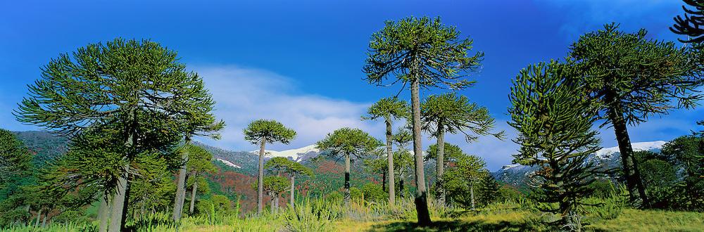 Araucarias Forest , Lonquimay National Park , La Araucania , Chile