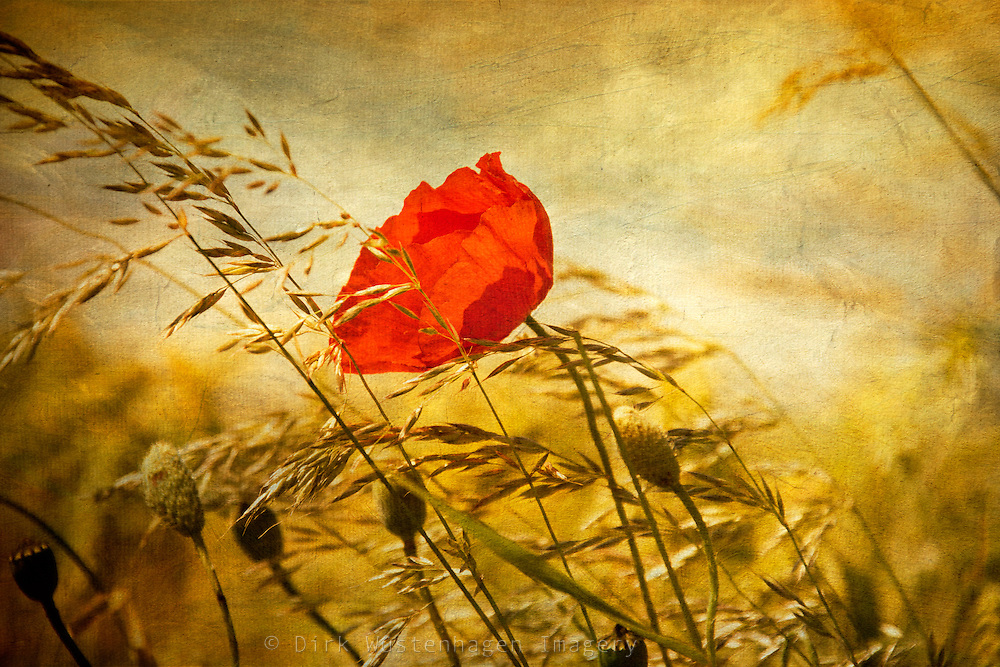 Poppy in a field on a windy day<br />