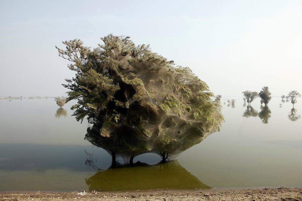 Trees are cocooned in spider webs after the extreme flooding that hit Sindh, Pakistan in 2010. More than 20 million people were affected by the floods, which took more that 5 months to recede in places.