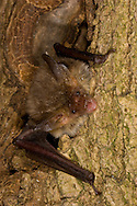 Bechstein's Bat Myotis bechsteinii Wingspan 25-30cm Medium-sized and relatively long-eared bat. Adult has rather long, fluffy fur that is reddish brown above and greyish white below. Bare face is pinkish red and ears are rather long and broad, with 9 transverse folds visible and a long, pointed tragus. Wings are dark brown. Silent in range of human hearing. Rare, with only scattered records mainly in S England and S Wales. Associated mainly with deciduous woodland. Flight is fluttering. Roosts and hibernates in tree holes.