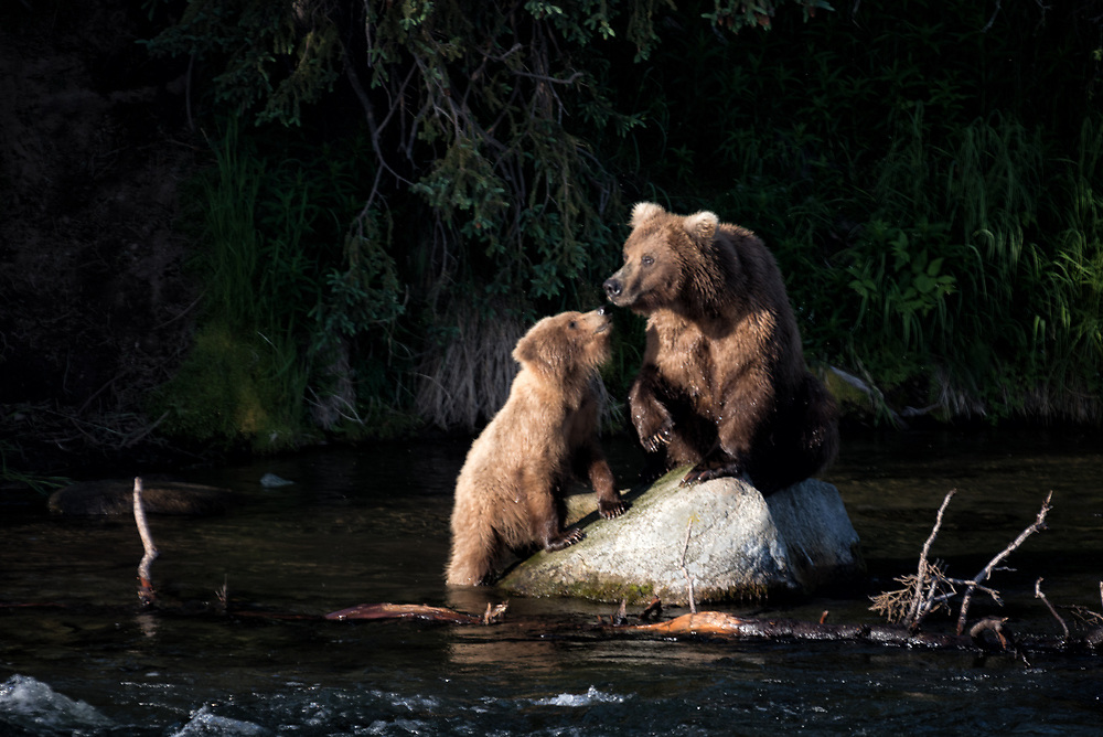 A yearling cub checks in with its mama while fishing at Brooks Falls in Katmai National Park, Alaska