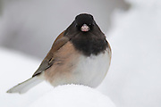 An Oregon junco (Junco hyemalis var. Oregonus) rests on a snow-covered rhododendron. While the birds are named after the state of Oregon, they're actually found along the Pacific Coast from California to southern Alaska. The Oregon junco is one type of dark-eyed junco.