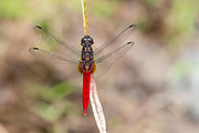 Male of the Spine-tufted skimmer (Orthetrum chrysis) from Deramakot Forest Reserve, Sabah, Borneo