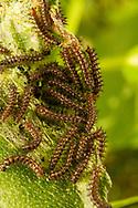 Bordered Patch Caterpillars - Hodges#4499 (Chlosyne lacinia)<br /> TEXAS: Travis Co.<br /> Zilker Botanical Garden; Austin<br /> 2-May-2015<br /> J.C. Abbott &amp; K.K. Abbott