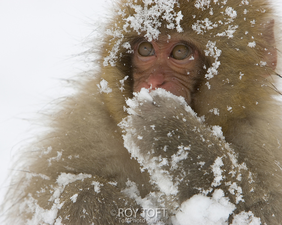 Big-eyed, snow-covered baby snow monkey (Macaca fuscata), Honshu Island, Japan.