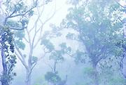 Ohia tree, Kokee, Kauai, Hawaii