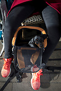 A little Dachshund dog sits in its owner's carrier basket, on 5th March 2019, in London, England.