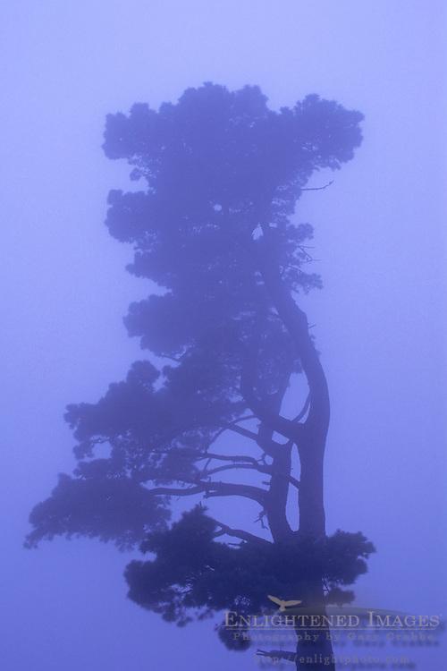 Lone evergreen in evening fog, Berkeley Hills, CALIFORNIA
