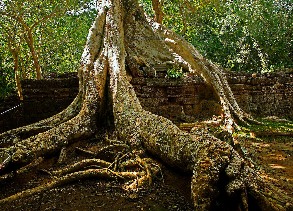 Angkor, Ta Prohm temple walls and buildings clasped in vast tangles of tree roots.