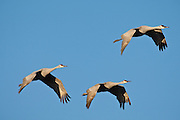 Bosque del Apache National Wildlife Refuge, New Mexico. Sandhill Cranes (Chen caerulescens) flying to roost