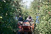Nederland, Leuth, 30-9-2013Bij een fruitteler worden de appels geoogst. Het zijn de rassen Elstar en Red Print. De laatste is vooral voor de export naar o.a. het midden oosten en italie. De kwaliteit en kwantiteit zijn erg goed. Het is lastig genoeg plukkers te vinden. De vruchten worden binnengehaald door tijdelijke arbeidskrachten uit Polen en lokale ouderen die met pensioen zijn.Foto: Flip Franssen/Hollandse Hoogte