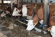 Kühe im Stall, Bauernhof, Bayerischer Wald, Bayern, Deutschland | cows in the barn, Bavarian Forest, Bavaria, Germany