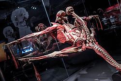 """02.06.2017, Messehalle A, Graz, AUT, Ausstellung """"Körperwelten"""", im Bild ausgestellte Plastinate in der Ausstellung """"Körperwelten"""" von Gunther von Hagens anl. einer Presseführung am 02. Juni 2017 in Graz, EXPA Pictures © 2017, PhotoCredit: EXPA/ Erwin Scheriau"""