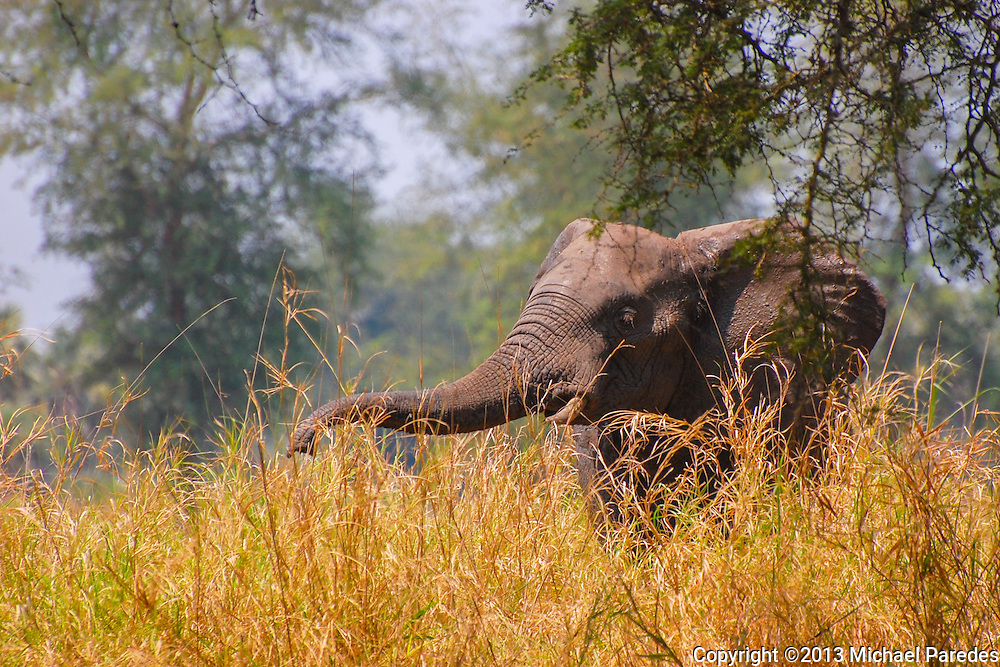Elephants at Gorongosa are not as adjusted to humans as elsewhere, due to poaching that nearly wiped them out during the Mozambican civil war. Despite their inherent distrust of humans, park officials are working to make interactions positive, since elephants need safari tourism to safeguard the land they live on.