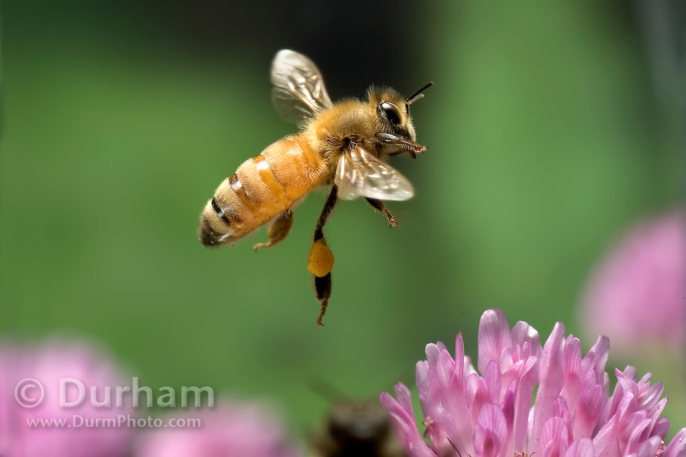 A worker honey bee (Apis mellifera) collects nectar from red clover flowers (Trifolium pratense). Note the pollen baskets on the legs. Northwest Oregon..