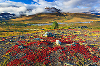 Spectacular fall colours in the North Fork Klondike River Valley in the Tombstone Mountains, Tombstone Territorial Park, Yukon, Canada