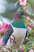 New Zealand Wood Pigeon Pictures - Photos