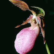 cyprideium acaule, Pink Ladies Slipper