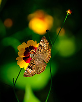 Horace's Duskywing Butterfly (Erynnis horatius) feeding on a Coreopsis Flower. Image taken with a Fuji X-T2 camera and 100-400 mm OIS lens