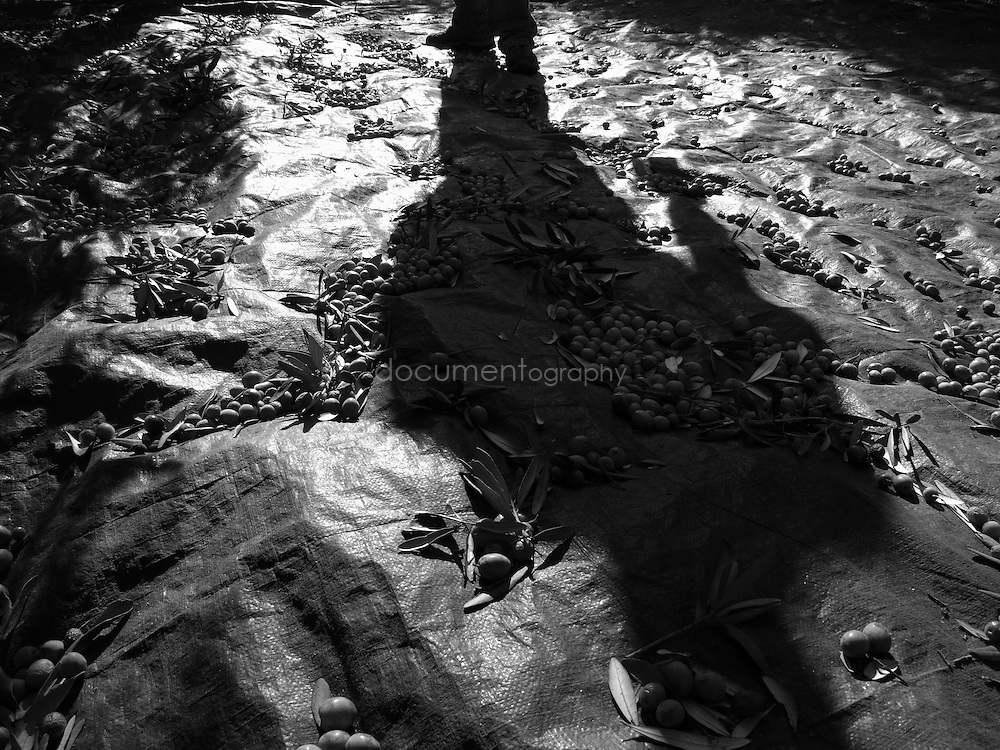 The shadow of a worker on the groundsheet used to harvest the olives, Domaine du Jasson, La Londe Les Maures, France.