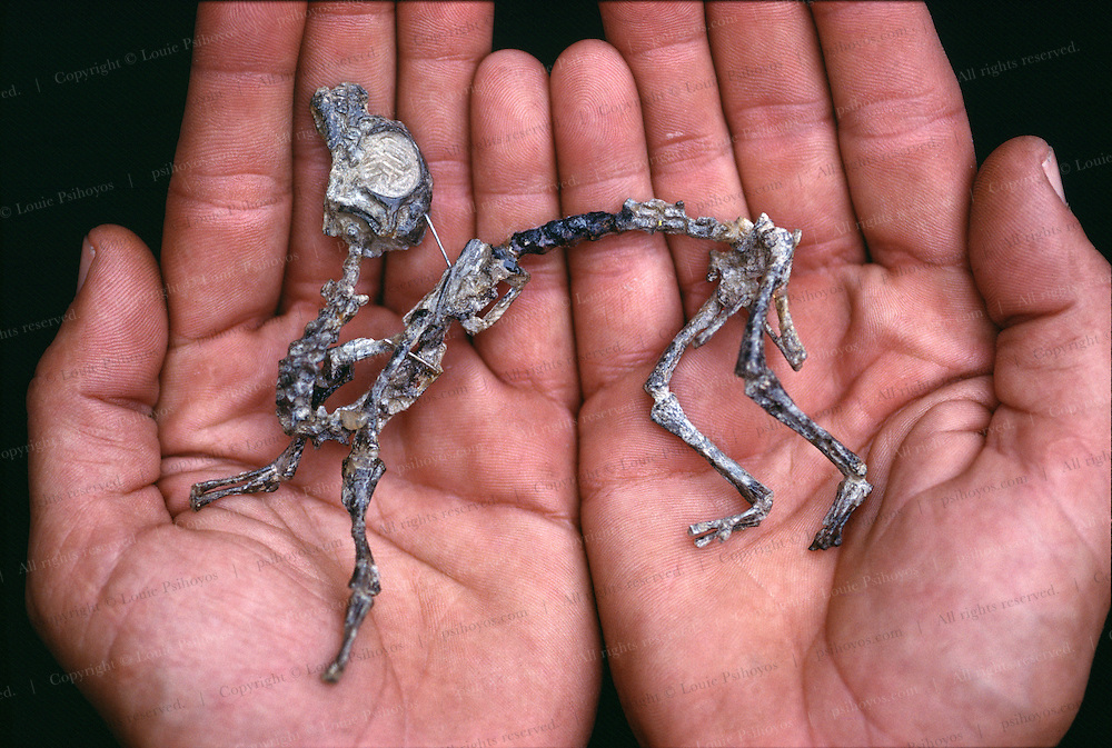 "A nest of Mussaurus ""mouse lizards"" prosauropods of the Late Triassic and some of the smallest dinosaur specimens ever found were discovered in a nest by preparator Martin Vince of the U. of Tucuman in Argentina."