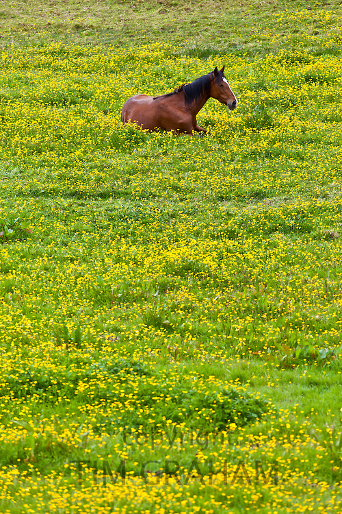 Dark bay Irish thoroughbred horse resting in buttercup meadow in County Cork, Ireland