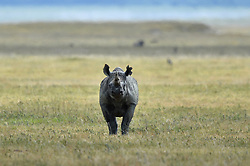 A Black Rhino (Rhinoceros) is pictured in Ngorongoro crater Conservation Area of Southern Serengeti National Park in Arusha Region, Tanzania, on August 25, 2019. Photo by Emy/ABACAPRESS.COM
