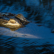 Florida alligator, A. mississippiensis, in the Everglades. The alligator is a crocodilian in the genus Alligator of the family Alligatoridae. <br /> Photography by Jose More