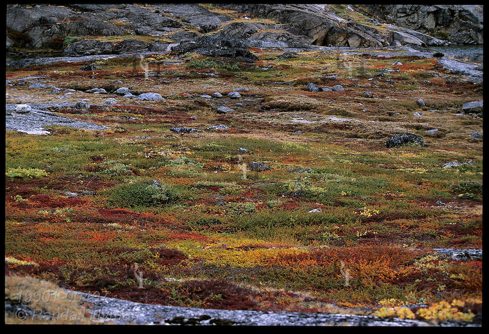 Late August paints autumn tundra a collage of yellows, reds and greens at Tasiusaq Bay in western Greenland.