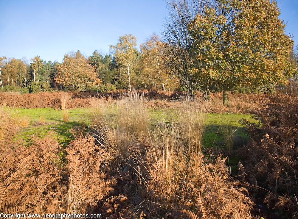 Heathland plants autumn landscape, Westleton Heath, Suffolk, England