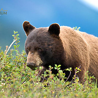 large male, boar black bear