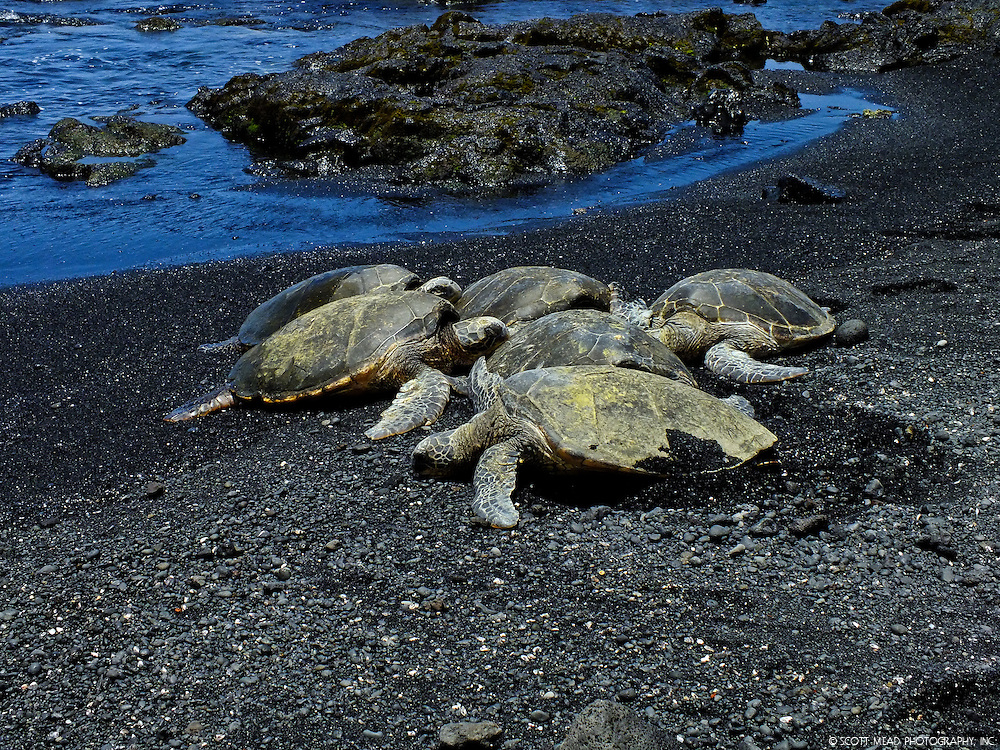 A Hawaii Green Sea Turtle leaves a cluster of other turtles for the Pacific Ocean at Punaluu Beach on the Big Island of Hawaii