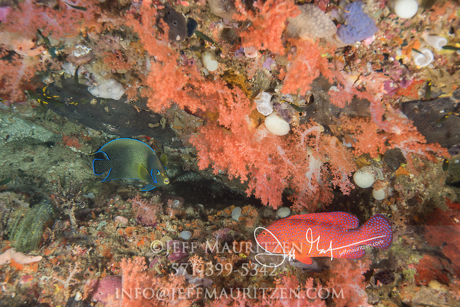 Colorful reef fish including an angelfish in Raja Ampat, Indonesia.