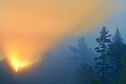 White pines trees (Pinus strobi) at sunrise, Killarney District, Ontario, Canada
