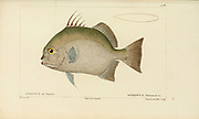 Ephippus from Histoire naturelle des poissons (Natural History of Fish) is a 22-volume treatment of ichthyology published in 1828-1849 by the French savant Georges Cuvier (1769-1832) and his student and successor Achille Valenciennes (1794-1865).