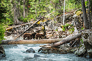 Black Bear cubs making good use of the bear crossing for Cascade Creek in Grand Teton National Park. <br />