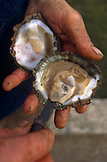 English Falmouth Estuary oysters have become highly sought-after around European restaurants and we see a freshly-caught specimen still in its shell after being landed from a traditional Falmouth antique working sail boat (fishing without mechanical power is a rule on this local fishery) that still dredge harvested oysters from the river bed using traditional methods unchanged since Victorian times. The fisherman's muddy fingers can be seen lifting (or shuck) the crustacean slightly from the shell with an old oyster knife to display this wild, native Fal oyster which is known for its distinctive sweet, fresh and delicate flavour.