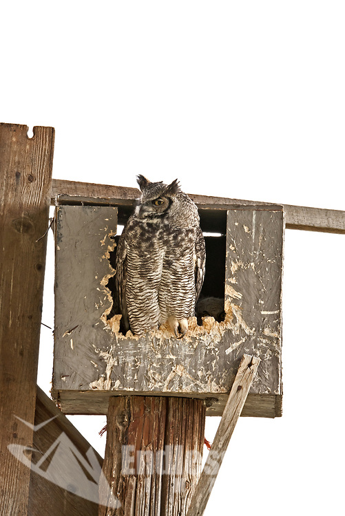 Adult Great Horned owl stands at the front of the nesting box it may be feeding time.