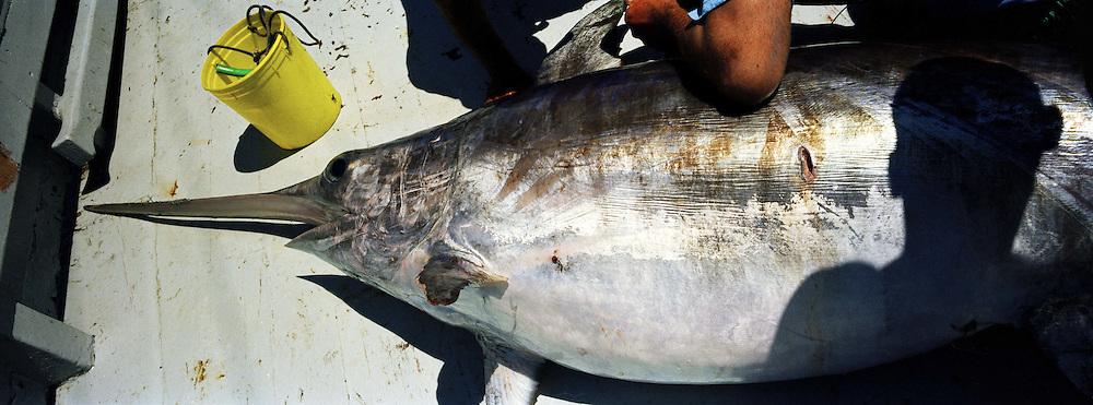 Il pesce spada femmina arriva a pesare 350 chili.<br /> Il pesce Spada dello stretto cos&igrave; pescato &egrave; molto raro e per questo ha un prezzo di vendita elevato. Catturato in questo modo &egrave; dedicato a palati sopraffini. Di diverso sapore da quello pescato con la rete.<br /> <br /> Swordfish female can weigh 350 - 400 Kg