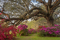 Bright, colorful azalea bloom at the base of an ancient Live Oak tree draped in Spanish Moss at Magnolia Plantation & Gardens in the Lowcountry of South Carolina.