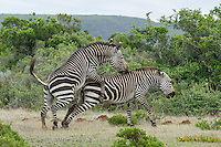 Mating Cape Mountain Zebras, De Hoop Nature Reserve and Marine Protected Area, Western Cape, South Africa