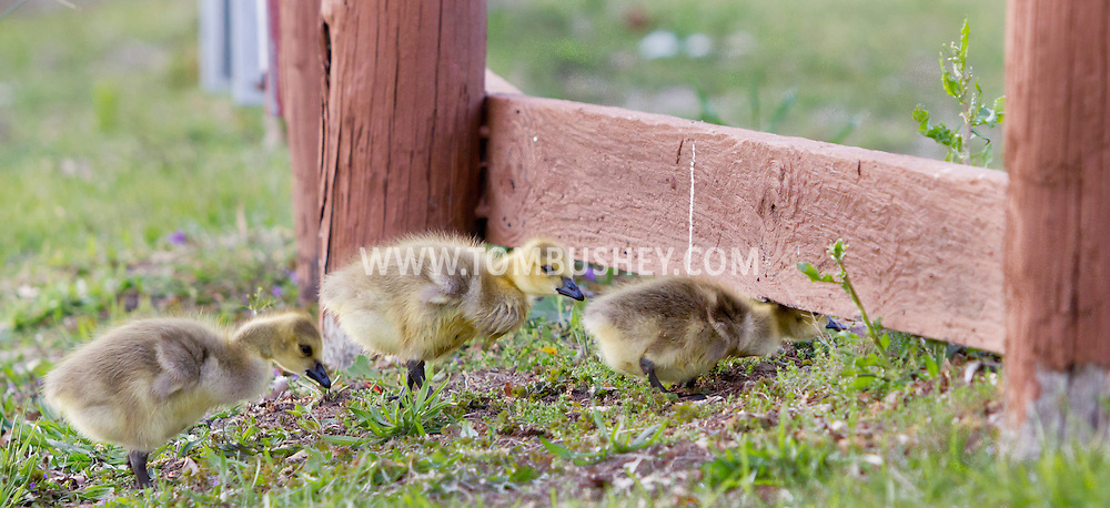 Middletown, New York - A gosling squeezes under a fence at Fancher-Davidge Park on April 30, 2012.