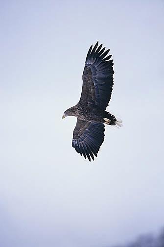 Steller's Sea Eagle, (Haliaeetus pelagicus) Japan.