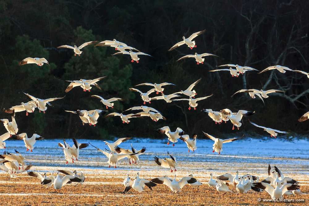 Flock of snow geese landing on a snow covered field in lower Currituck county.