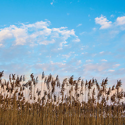 Phragmites and clouds at sunrise, Rye Harbor State Park, Rye, New Hampshire.