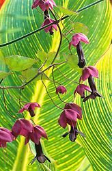 Rhodochiton atrosanguineus against the leaf of Canna variegata