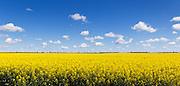 Flowering canola crop in farm paddock under blue sky and cumulus clouds at Lockhart, New South Wales, Australia. <br />